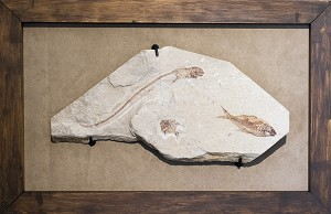 Rare Cretaceous Fossil Fish Plate with Shark