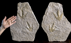 Fossil Dinosaur Footprints Pair